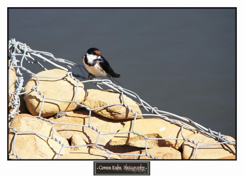 Swallow_1417