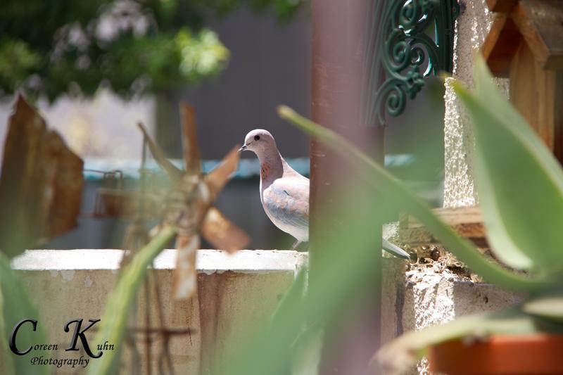 Pigeon_3410pj326