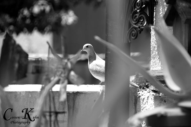 Pigeon_3410pj326bw