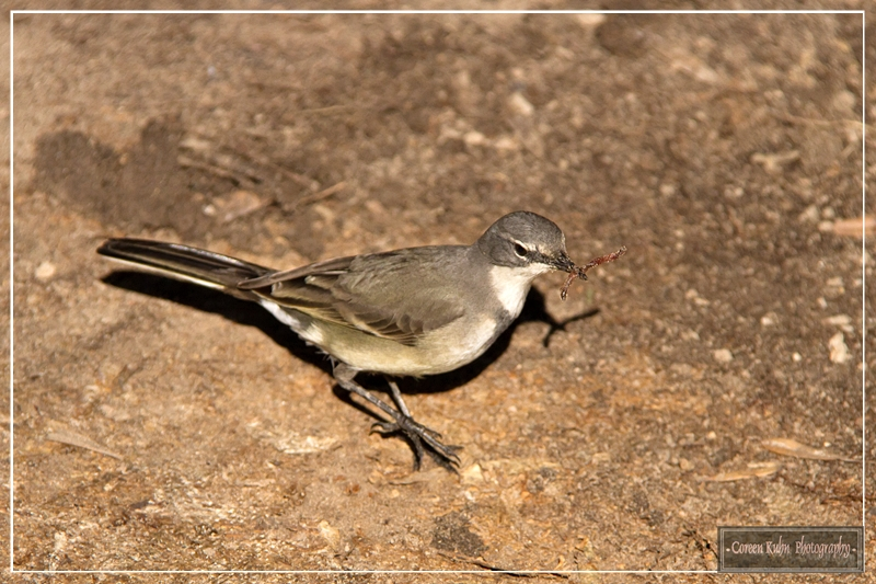 Cape Wagtail feeding in our garden | Picture Perfect ...