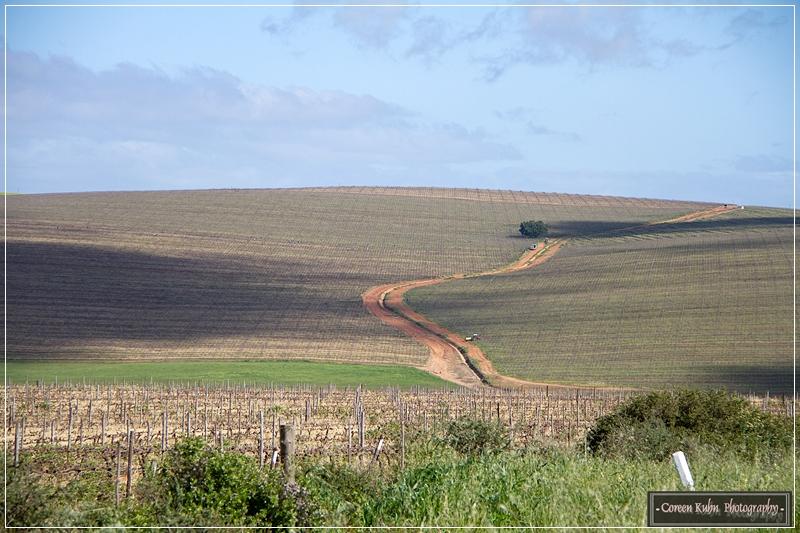 Canola Fields_7120