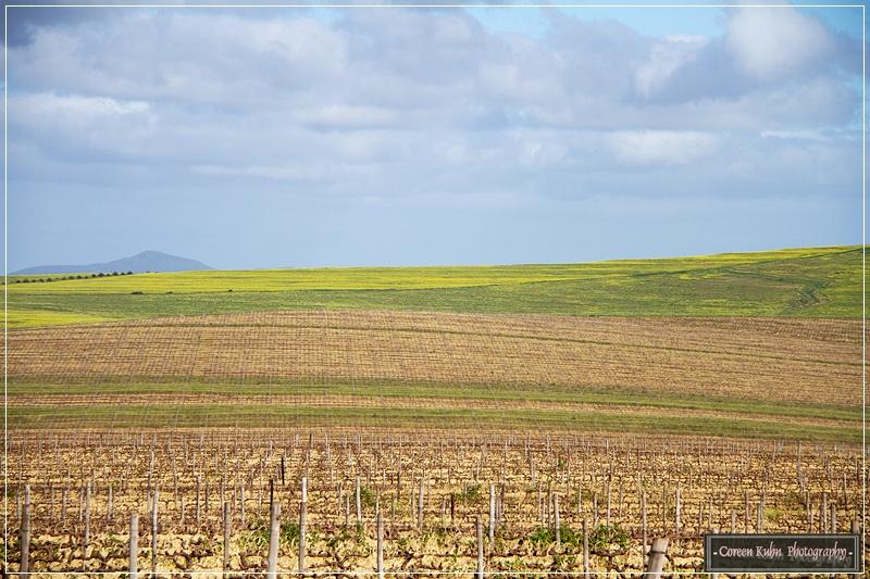 Canola Fields_7121