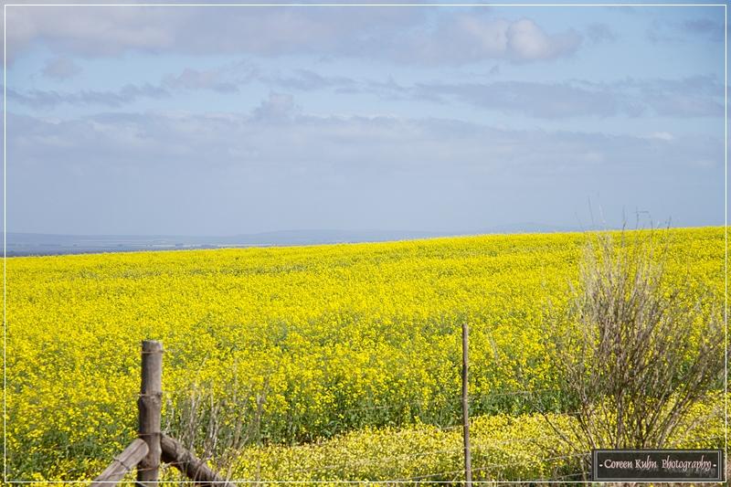 Canola Fields_7126