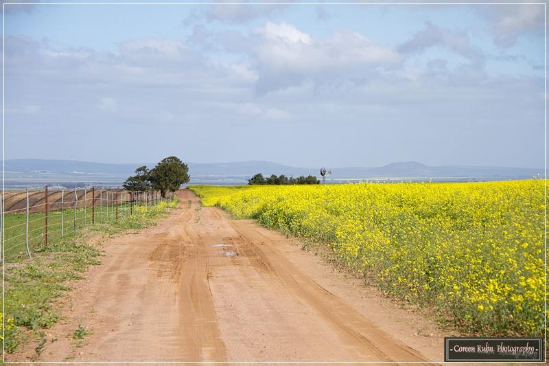 Canola Fields_7131