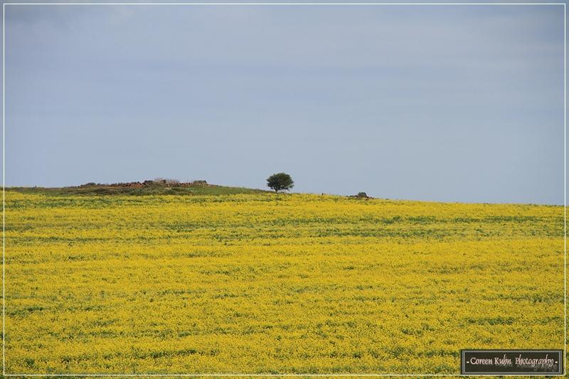 Canola Fields_7221