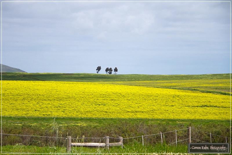 Canola Fields_7229