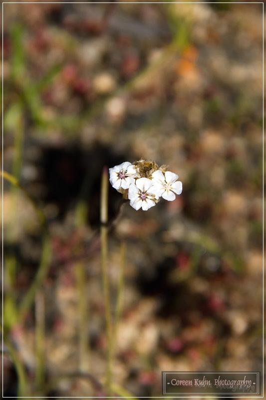 Project 365 56a Eriocephalus Africanus Asteraceae Wild rosemary Kapokbossie