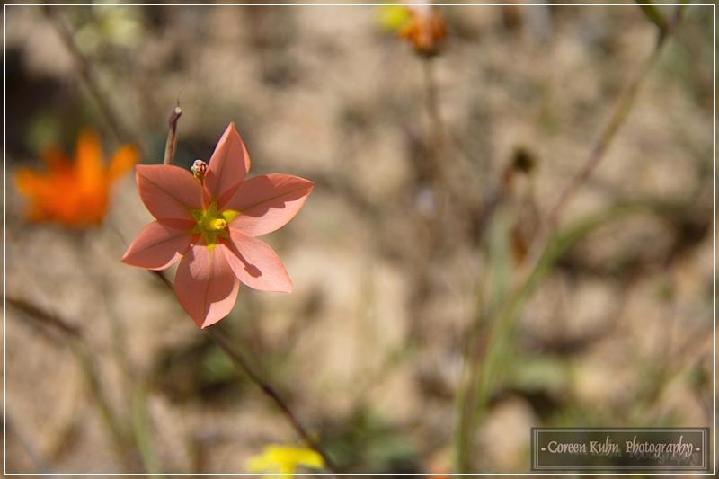 Project 365 56b Moraea vallisbelli Goldblatt Slaptulp