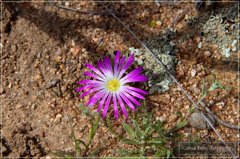 Project 365 66a Drosanthemum latipetalum Karoodouvygie