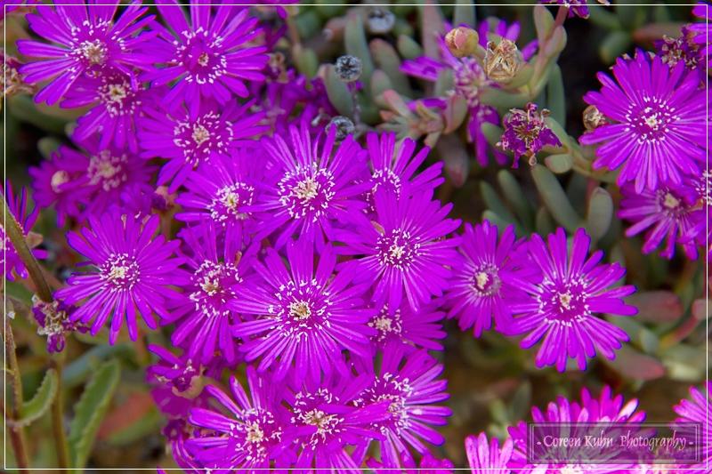 Project 365 79d Lampranthus maximiliani Kruipvygie