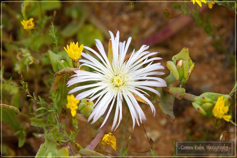Project 365 82b Mesembryanthemum Ice Plant Brakslaai