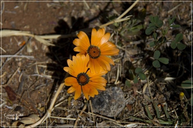 Project 365 245a Namaqualand daisy