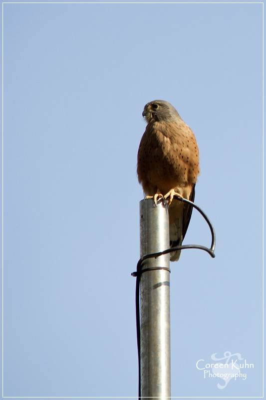 LH_0490 Rock Kestrel