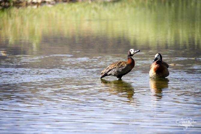 MS_6069 White faced ducks