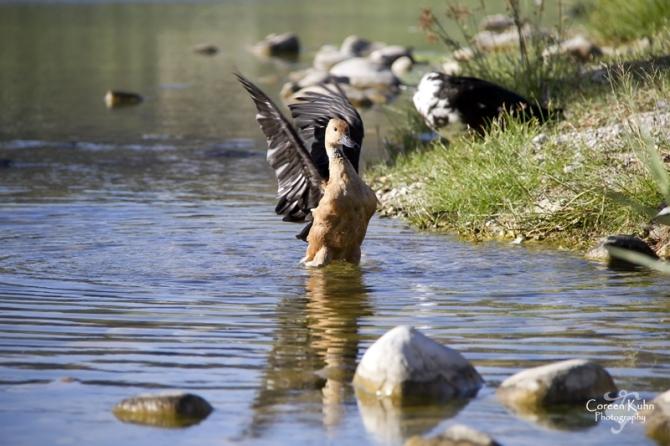 MS_6096 Falvous duck