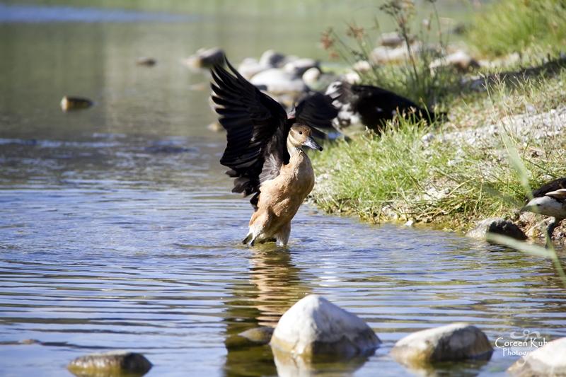 MS_6098 Falvous Duck