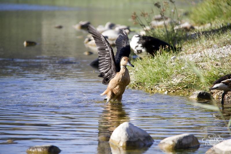 MS_6099 Falvous duck