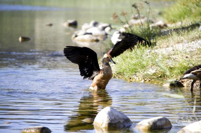 MS_6100 Falvous duck