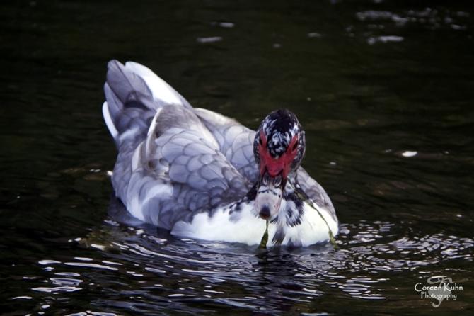 MS_6108 Muscovy duck