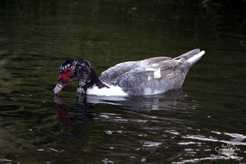 MS_6113 Muscovy duck