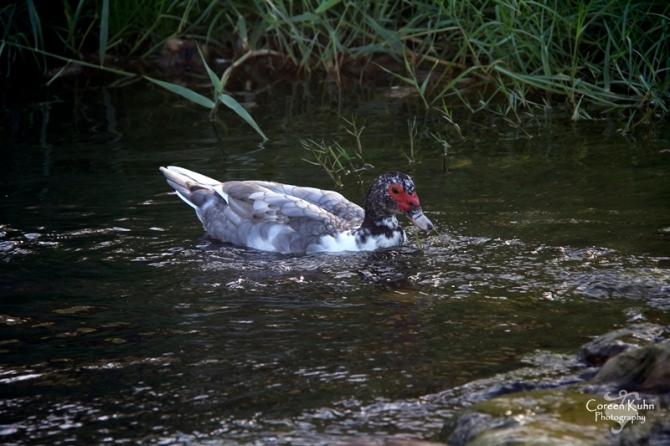 MS_6115 Muscovy duck