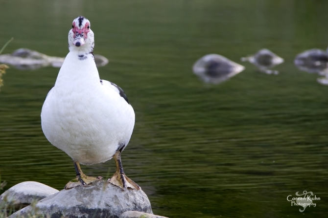 MS_6133 Muscovy duck