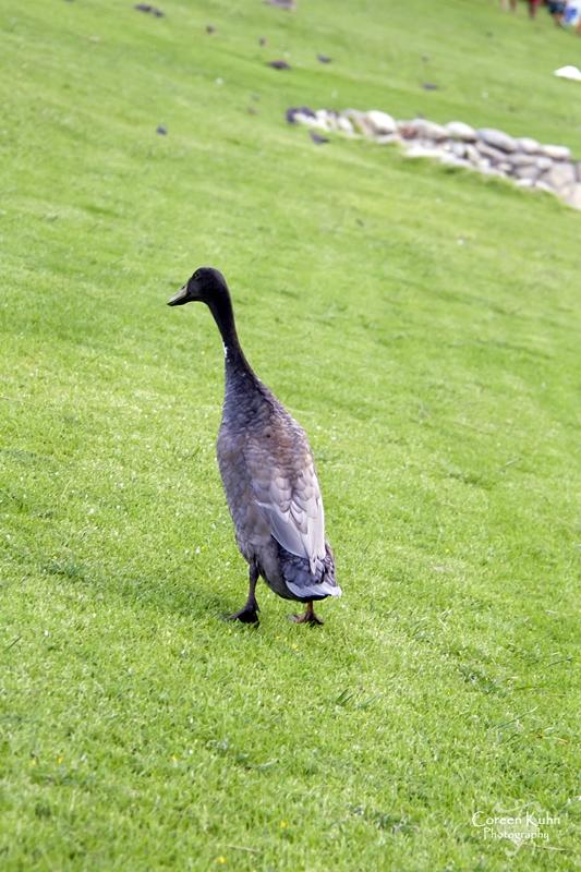 MS_6136 Indian Runner duck