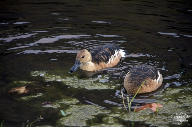 MS_6140Fulvous duck  Whistling duck