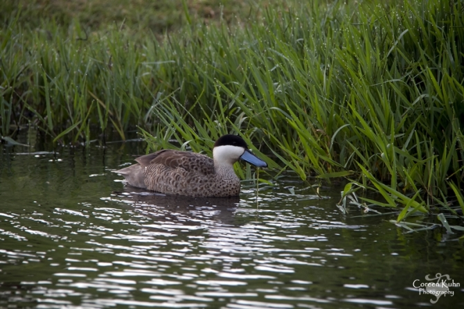 MS_6153 Hottentot Teal