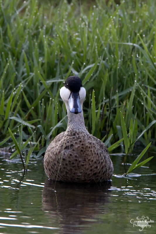 MS_6159 Hottentot Teal