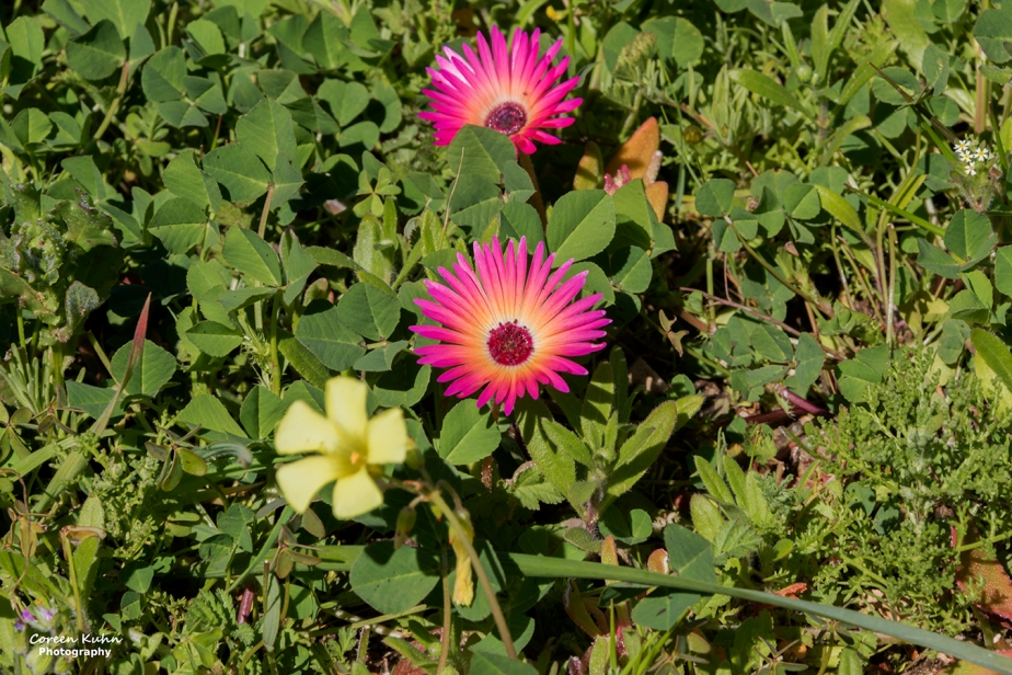 Cee's Fun Foto Challenge: Pink andYellow