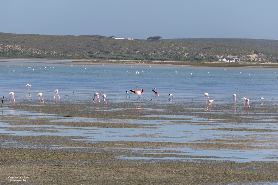 Fauna and Flora Friday: 2 October 2020 – Greater Flamingo