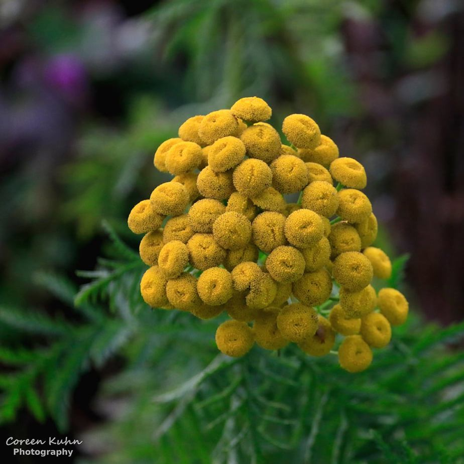 Flower of the day: 4 October 2020 – YellowTansy