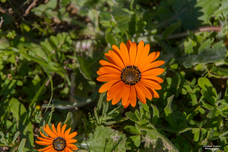 Cee's Flower Of The Day Challenge: 19 October 2020 – West Coast Gazania