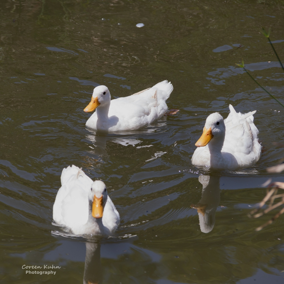 White Pekin Ducks at Sonstraaldam: Part 1