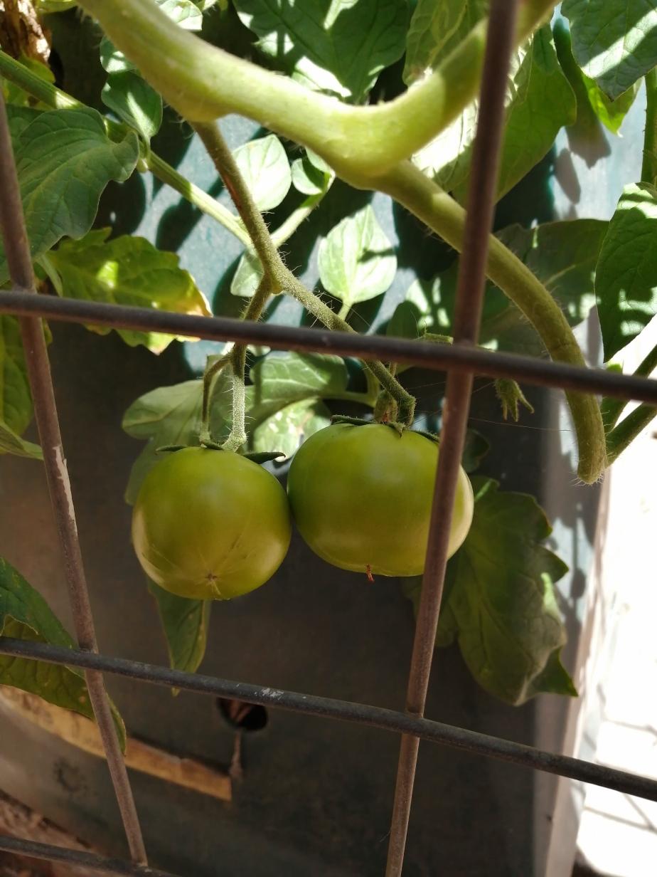 Tomatoes: 18 November2020