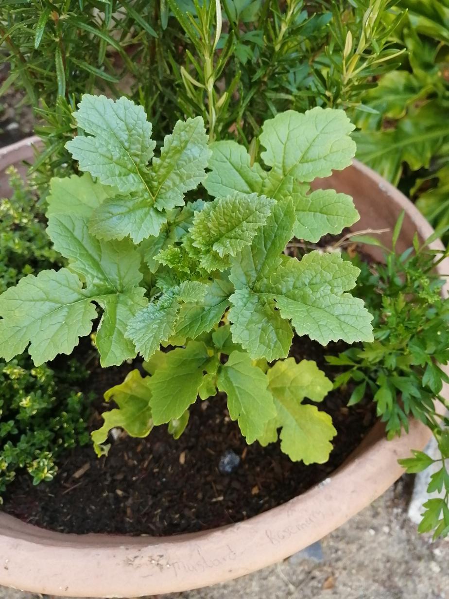 Mustard Plant: 25 November2020