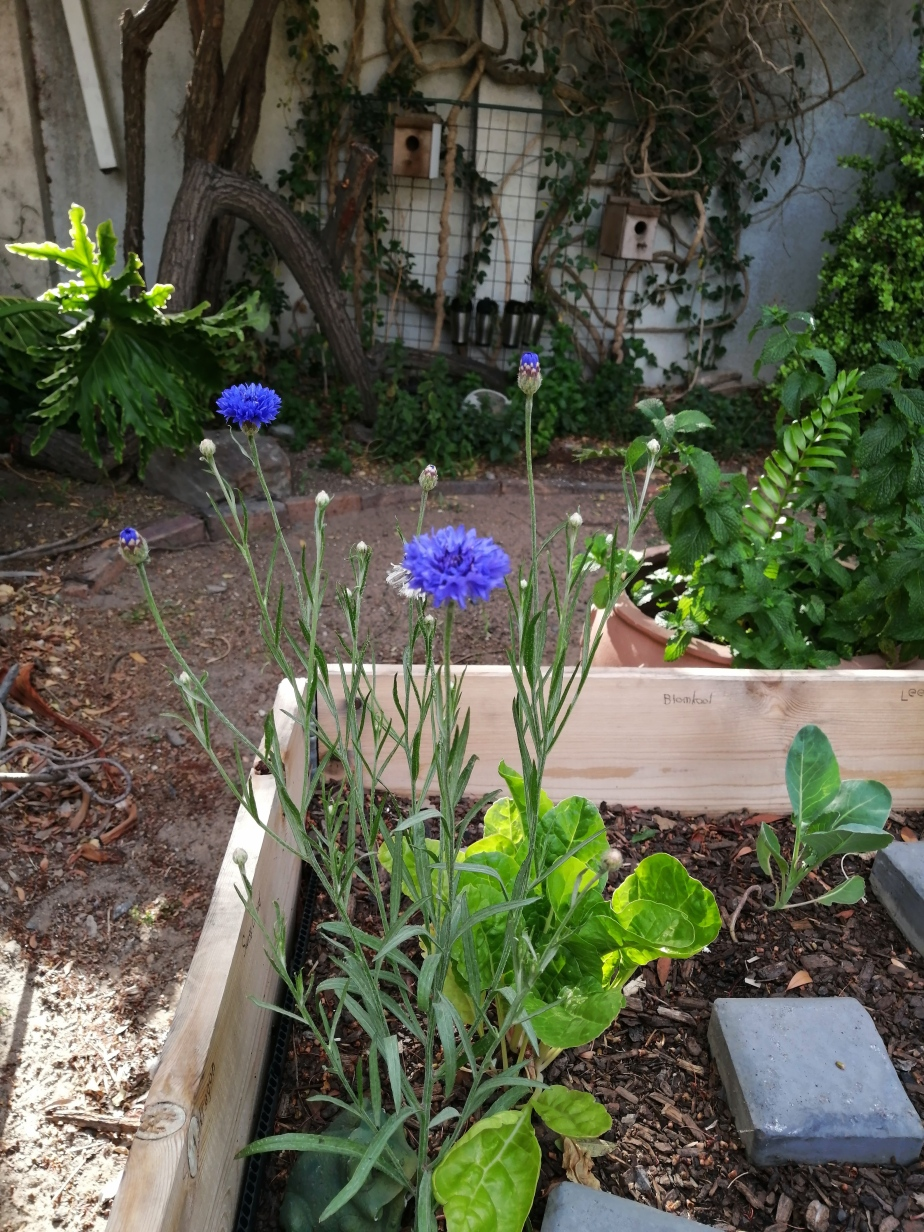 Cornflower keeps on flowering… 17 December 2020