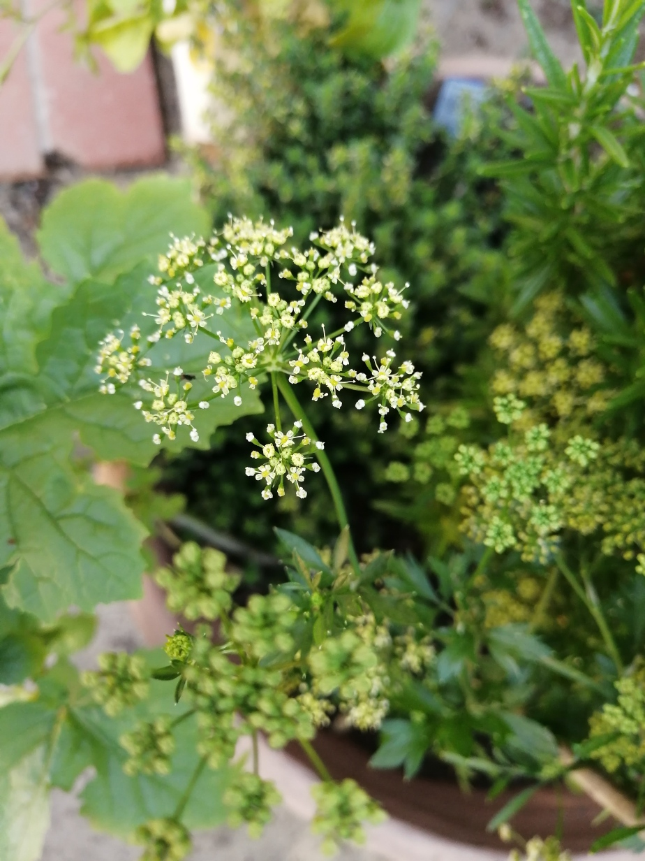 Parsley Flowering: 20 December 2020