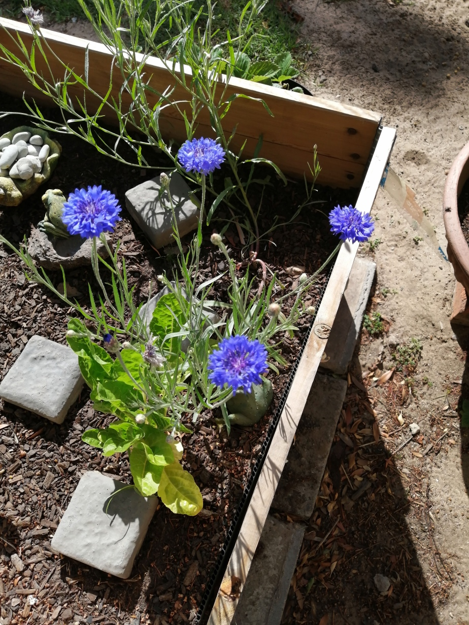 Beautiful Cornflowers: 20 December 2020