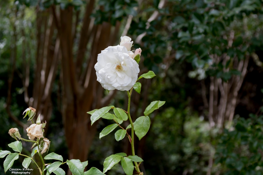 Cee's Flower Of The Day Challenge: 30 December2020