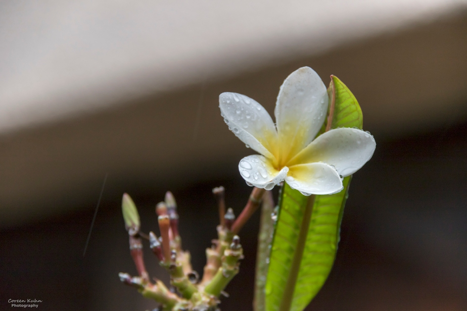 Cee's Flower Of The Day Challenge: 16 April 2021 – Frangipani