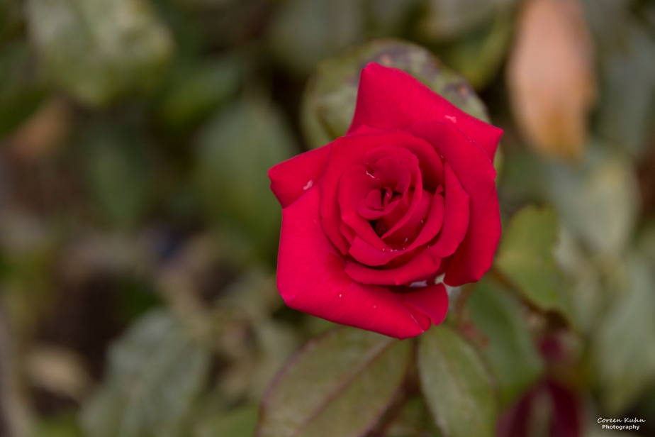 Cee's Flower Of The Day Challenge: 19 April 2021 – Red Rose