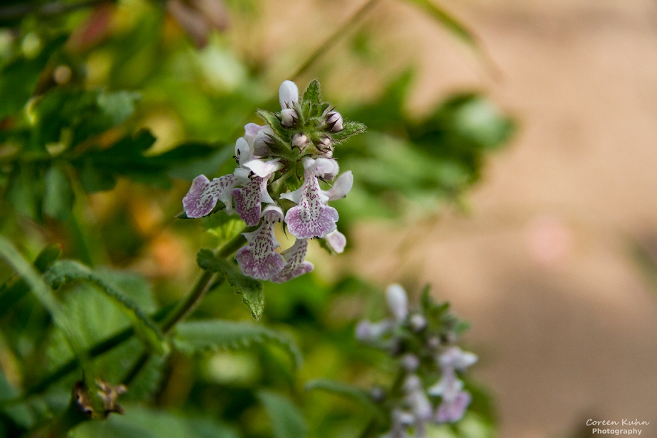 Cee's Flower Of The Day Challenge: 30 April 2021 – African Stachys, Katbossie