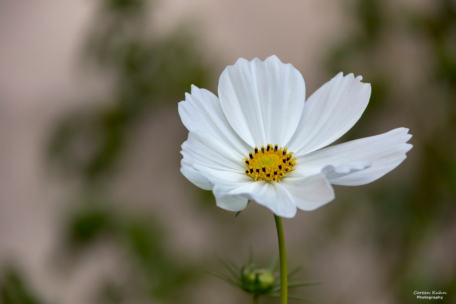 Cee's Flower Of The Day Challenge: 4 May 2021 – White Cosmos