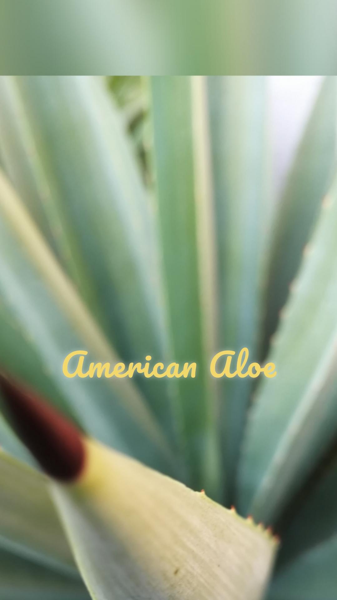 American Aloe
