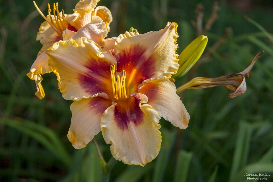 Cee's Flower Of The Day Challenge: 18 June 2021 – TigerLily