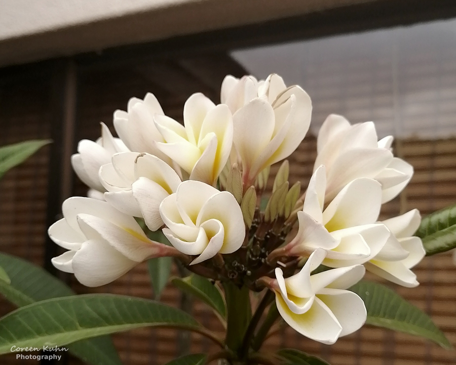 Cee's Flower Of The Day Challenge: 22 June 2021 –Frangipani