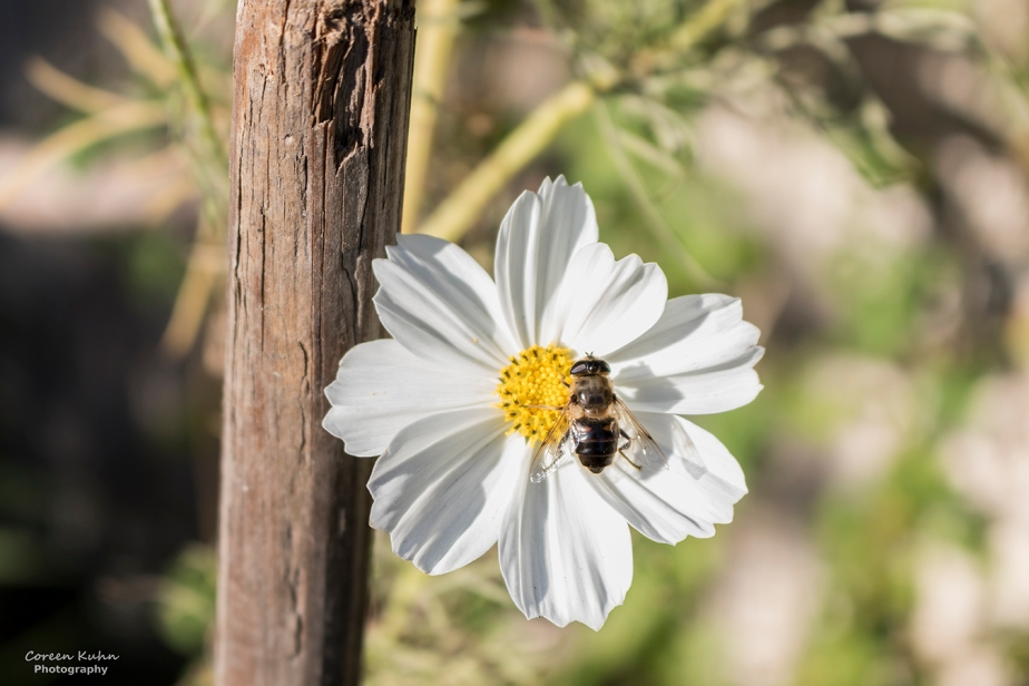 Cee's Flower Of The Day Challenge: 8 June 2021 – WhiteCosmos