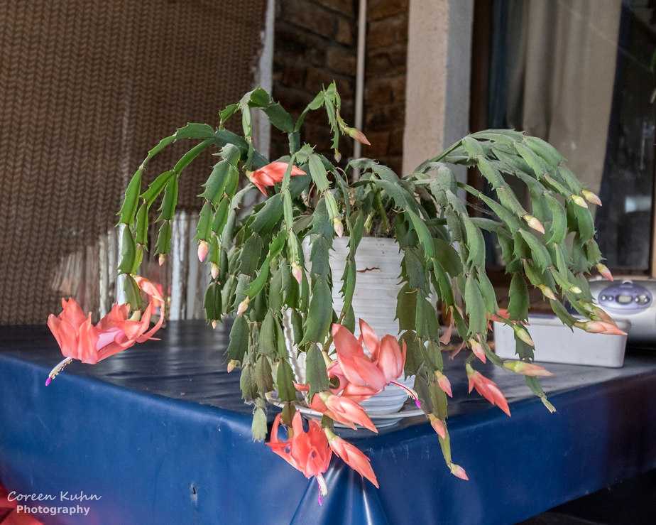 Cee's Flower Of The Day Challenge: 9 June 2021 – Peach ChristmasCactus